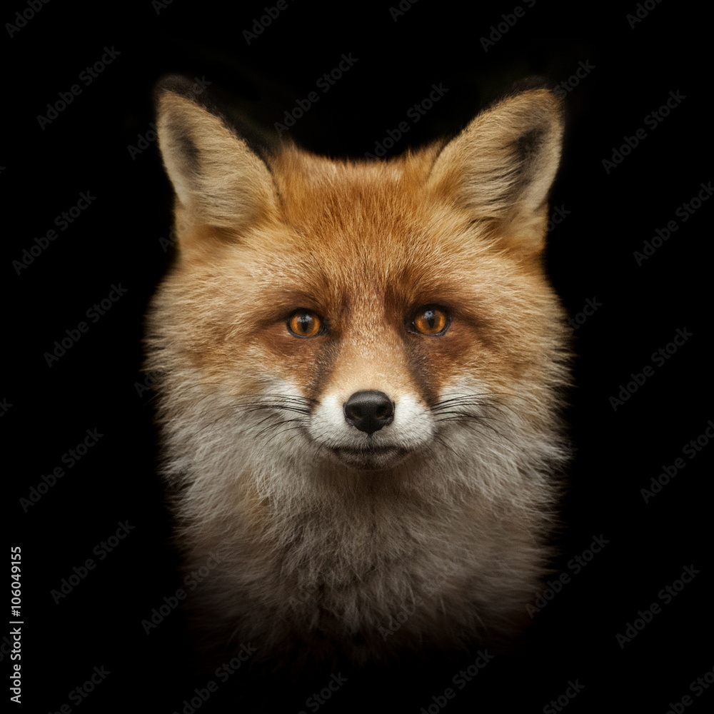 Fototapety, obrazy: red fox face isolated on black