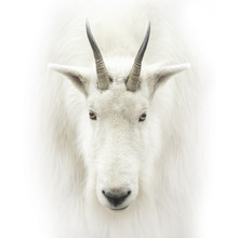 Mountain Goat Head Isolated On White