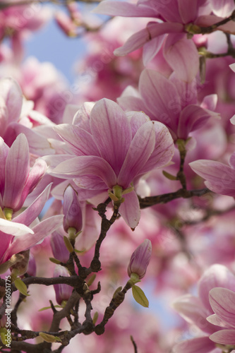 flowering magnolia tree