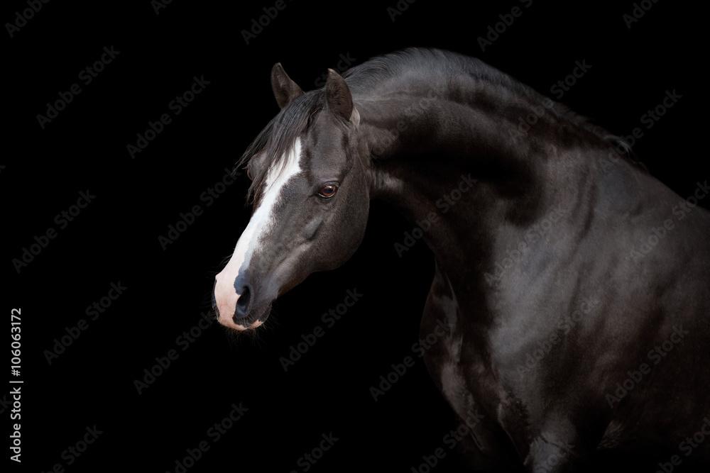 Fototapety, obrazy: Black horse isolated on black background