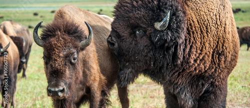Keuken foto achterwand Buffel Buffaloes