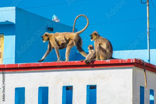 Fotografija  Two gray langur females with monkey baby (Semnopithecus dussumieri) invade a roo