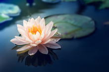 A Beautiful Pink Waterlily Or ...