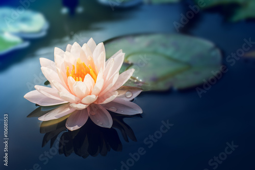 Poster Waterlelies A beautiful pink waterlily or lotus flower in pond