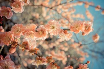 FototapetaSakura cherry blossom in japan