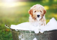 Adorable Cute Golden Retriever Puppy