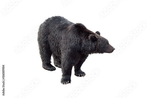 Tuinposter Panter Black bear (Ursus arctos) view of profile isolated on white back