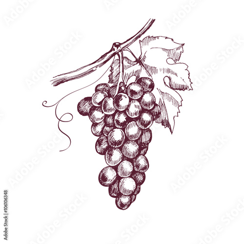 Sketch bunches of grapes. Vector illustration. Fototapete