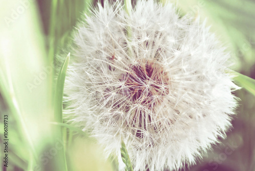 Poster Paardenbloem Dandelion close up on natural background