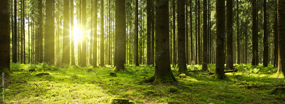 Fototapeta Sunlight in the green forest.