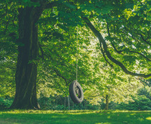 Large Tree With Tire Swing