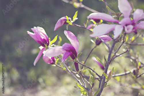 Photo  Blooming magnolia branch on a tree in the garden