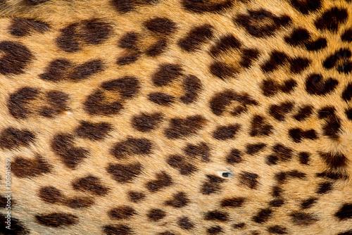Aluminium Prints Leopard Real jaguar skin
