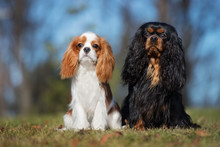 Two Cavalier King Charles Spaniel Dogs Sitting Outdoors