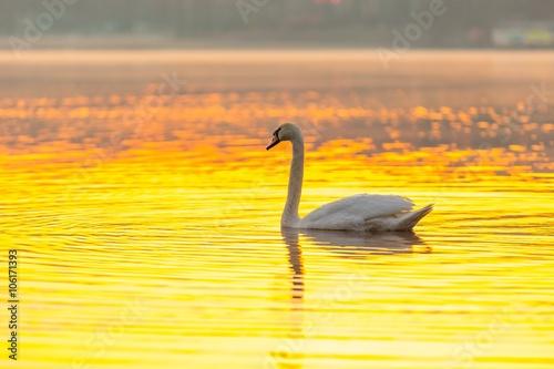 Poster Jaune Swan swimming in lake in morning light