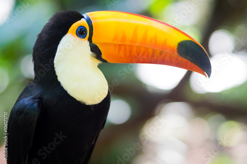 Exotic toucan bird in natural setting near Iguazu Falls, Foz do Iguacu, Brazil.
