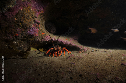 Lone southern rock lobster Jasus edwardsii in darkness of crevice.