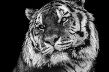 Bold contrast black and white tiger face close-up