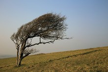Wind-shaped Tree In Winter, Be...