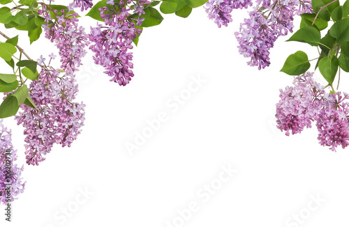 Photo light lilac large inflorescences and leaves half frame