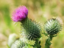 Close-up Image Of A Spear Thistle (Cirsium Vulgare).