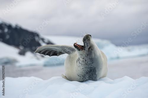 Fototapeta premium Crabeater seals on the ice.