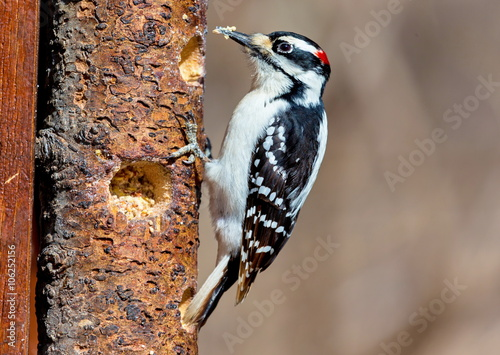 Photo  The larger of two look alikes, the Hairy Woodpecker is a small but powerful bird that forages along trunks and main branches of large trees