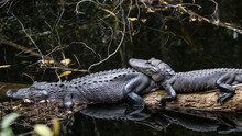 Alligators Resting, Big Cypres...