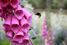 Purple Flowers And Flying Bee