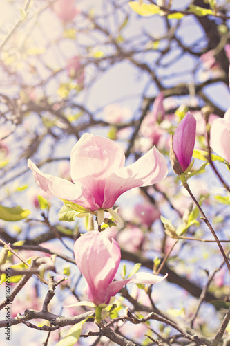 Blooming magnolia branch on a tree in the garden Poster