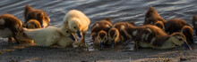 Muscovy Ducklings, Lake At The...