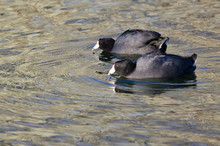 Pair Of  American Coots Swimming Across The Water