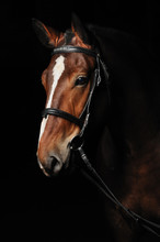 Portrait Of A Bay Horse