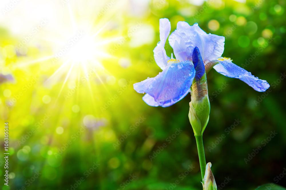 Fototapeta Bearded violet iris flower close up.