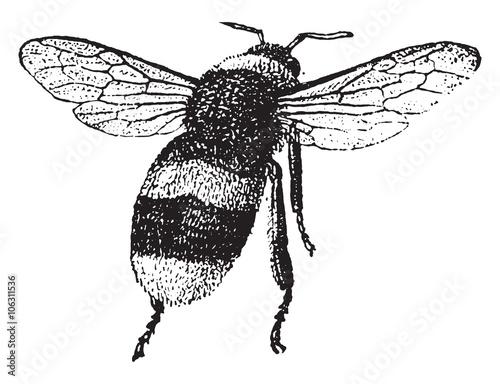 Foto Bumblebee, vintage engraving.
