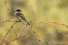 Eastern Phoebe In San Antonio Texas
