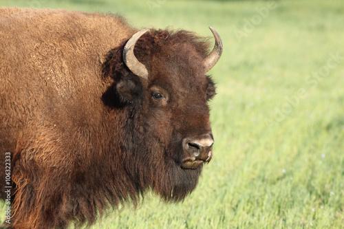 Fotobehang Bison American bison