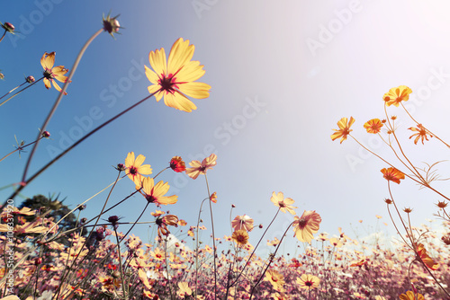 Платно Vintage landscape nature background of beautiful cosmos flower field on sky with sunlight