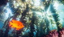 Garibaldi Fish At Catalina Isl...