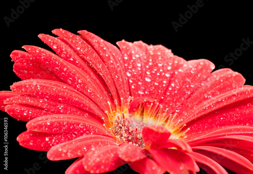 Wall Murals Gerbera wet red gerbera flower closeup