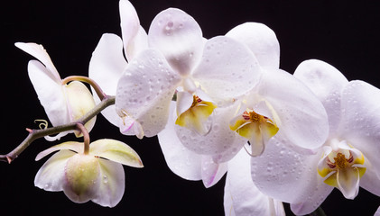 FototapetaWhite orchid on a black background