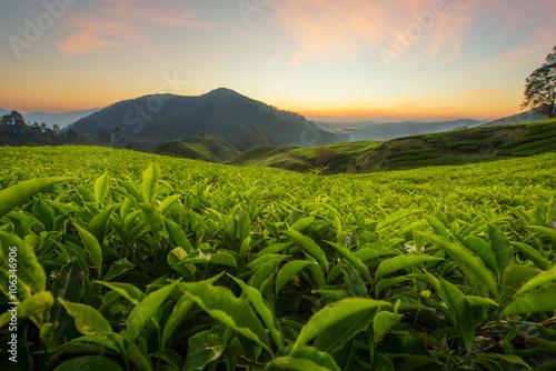 Obraz na płótnie Tea plantation in Cameron highlands, Malaysia