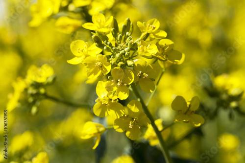 Poster Jaune blooming rape, spring