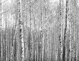 Pnie brzozy, czarno-białe tło naturalne - 106355775