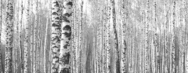 Obraz na Plexi Trunks of birch trees,black and white natural background