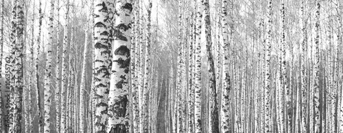 Trunks of birch trees,black and white natural background Fototapeta