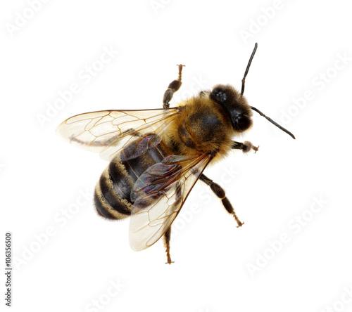 Aluminium Prints Bee bee
