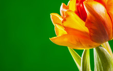 Natural Beautiful Tulip On Gre...