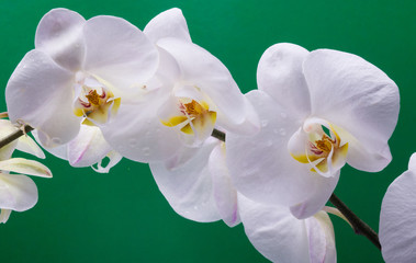 FototapetaWhite orchid isolated on bright color