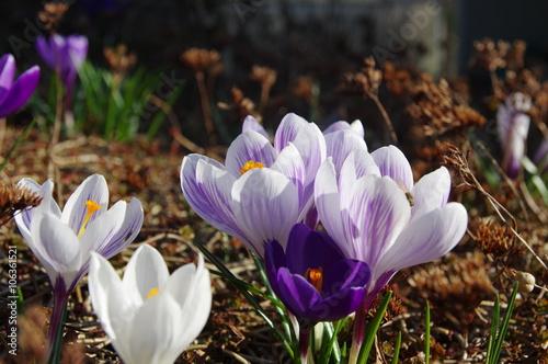 Foto op Plexiglas Krokussen Krokusse im Garten